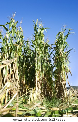Close up of rows of a maize field - stock photo