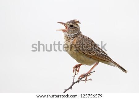 Close-up of Rufous-naped lark; Mirafra africana - stock photo