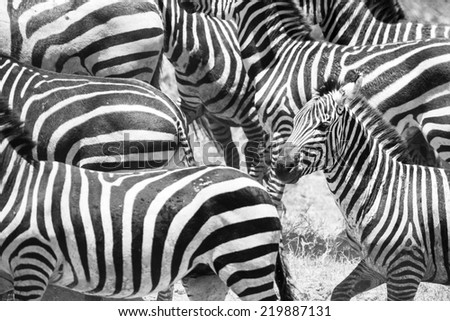Close up of running zebras in Africa - stock photo