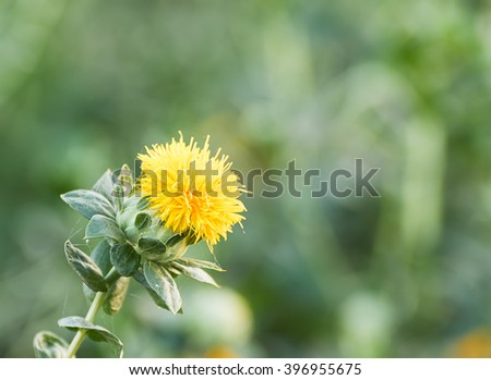 Close up of safflower in garden - stock photo