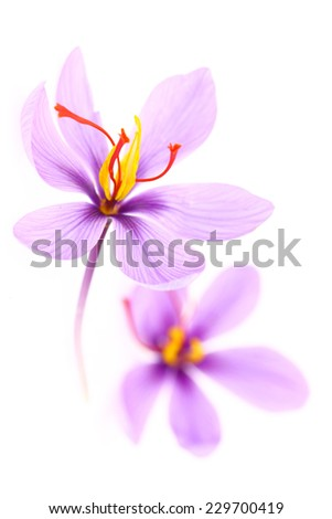 Close up of saffron flowers isolated on white background  - stock photo