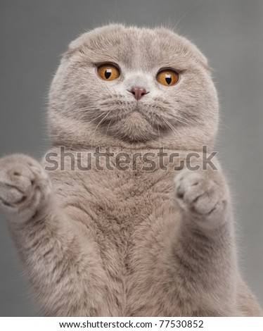 Close-up of Scottish Fold cat with paws up, 9 and a half months old, in front of grey background - stock photo