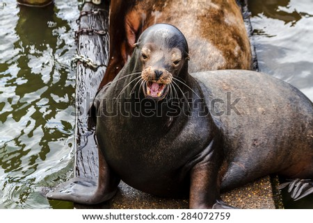 Close up of sea lion posing in sun  with mouth open on pier in river off northwest coast of the Pacific ocean - stock photo