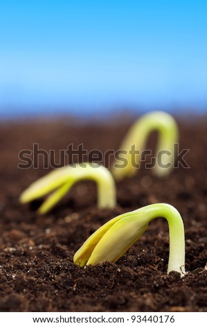 Close-up of seedling of a sunflower growing out of soil - stock photo