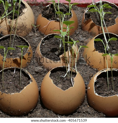 close-up of seedlings in the eggshell - stock photo