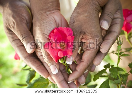 Close up of senior African American man & woman couple hands holding a red rose flower in a summer garden - stock photo