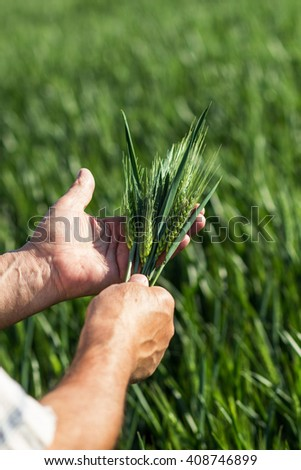 Close up of senior farmers hands holding and examining wheat crop.