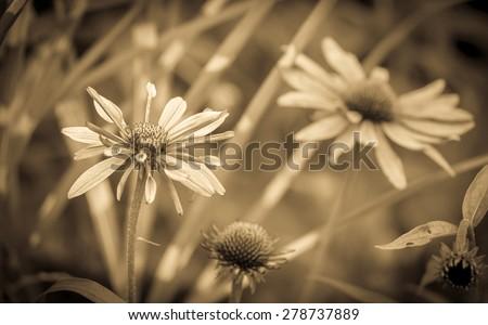 Close up of sepia tone echinacea flowers - stock photo