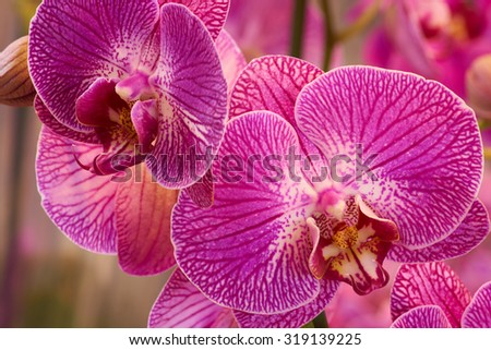 Close-up of several pink orchids shot indoors                                - stock photo