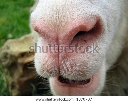 Close-up of sheep nose - stock photo