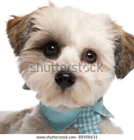 Close-up of Shih Tzu, 8 months old, wearing a tie in front of white background - stock photo
