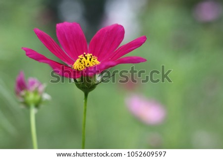 Close shocking pink cosmo flowers blooming stock photo royalty free close up of shocking pink cosmo flowers blooming against the sun mightylinksfo