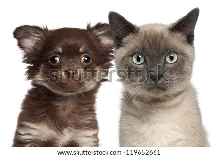 Close-up of Siamese kitten, 6 months old, and Chihuahua puppy against white background - stock photo