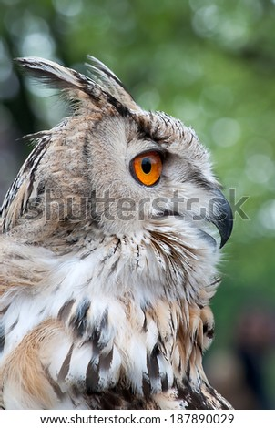 Close up of Siberian Owl - stock photo