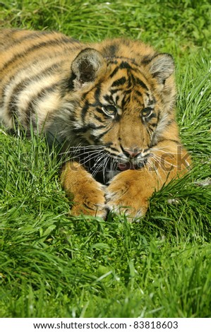 Close up of Siberian tiger cub (Panthera tigris altaica)