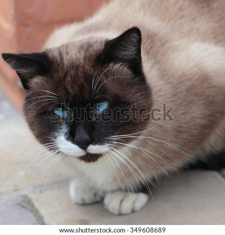 Close up of silly looking cross-eyed Siamese cat  - stock photo