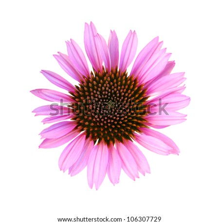 Close up of single fresh cone flower - stock photo