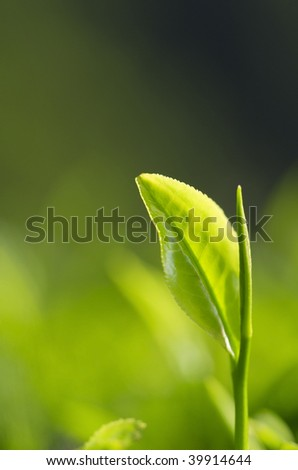 close up of single green tea leaf with plenty of copy space - stock photo