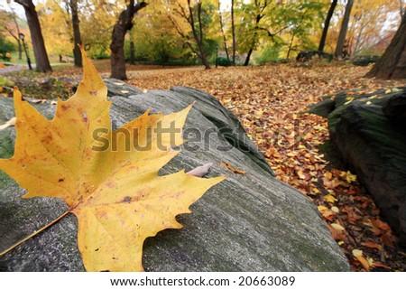 Close up of single maple leaf on large boudler - stock photo