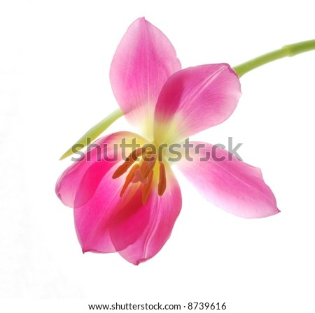 Close-up of single pink tulip flower on white background - stock photo