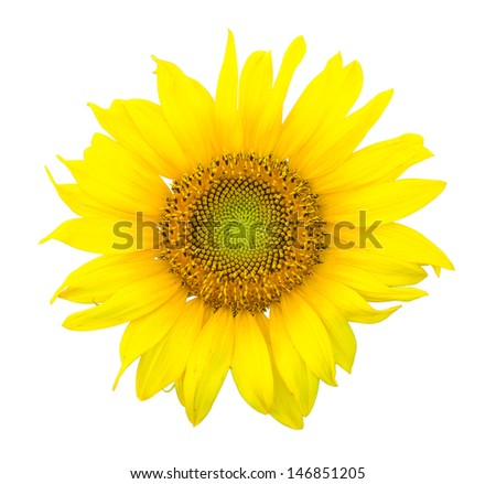 Close up of single sunflower isolated against white background - stock photo