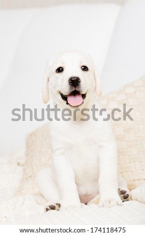 Close up of sitting on the white leather sofa Labrador puppy - stock photo