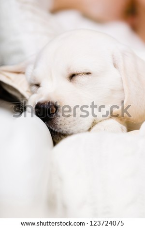 Close up of sleeping Labrador puppy on the hands of female owner sitting on the sofa - stock photo