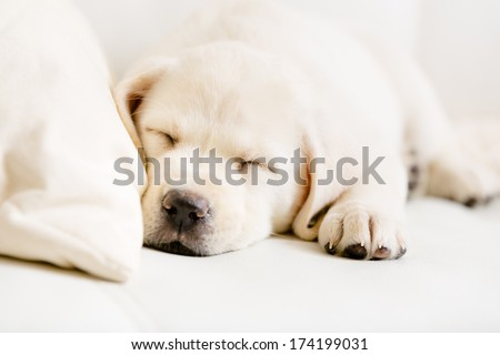Close up of sleeping puppy of labrador on the white leather sofa - stock photo