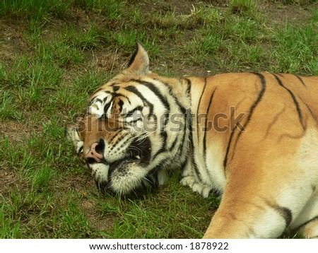 Close up of sleeping tiger in the zoo