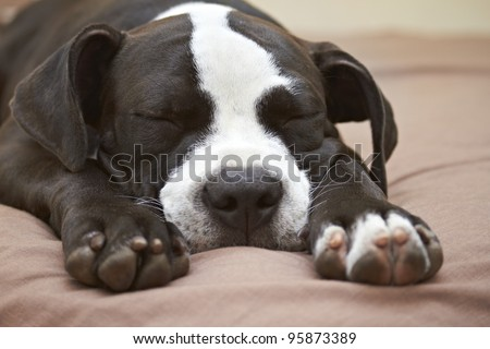 Close up of sleeping young Pit Bull puppy - stock photo