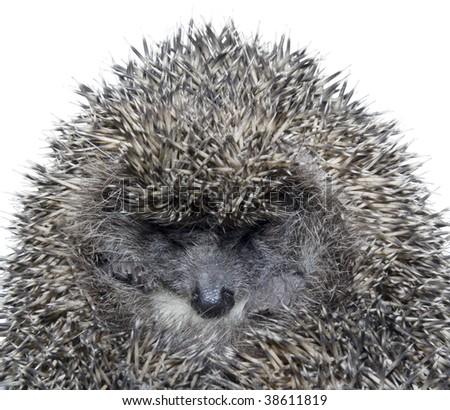 Close up of sleepy hedgehog isolated on white background - stock photo