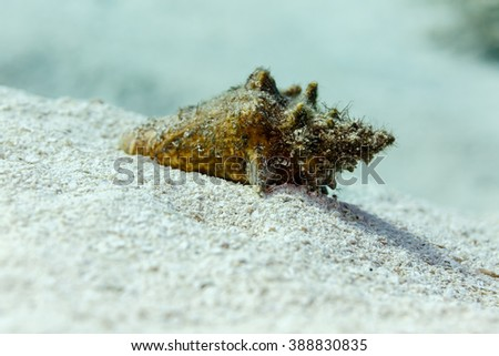 Close-up of small conch shell covered with sand on reef - stock photo