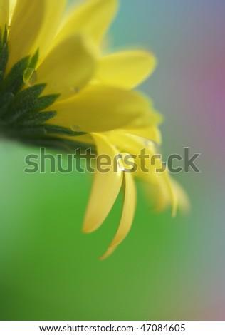 Close-up of small drop on daisy petal - stock photo