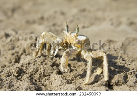Close up of small sea, marine crab on beach of Turkey in sand. Sea background. - stock photo