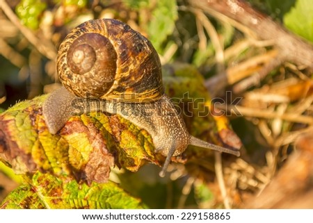 Close up of snail on a leaf after rain