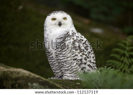 Close-up of snowy owl perching in the forest - stock photo