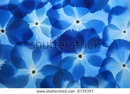 Close-up of soft pastel blue hortensia flower as a  background
