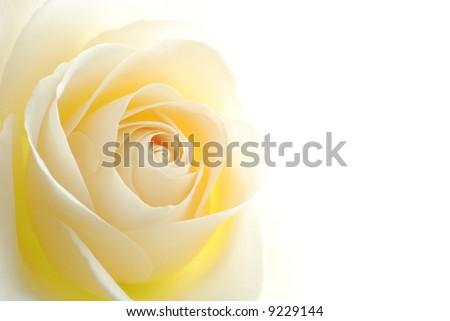 Close-up of soft white rose flower against white background - stock photo