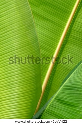 Close-up of some banana leafs - stock photo