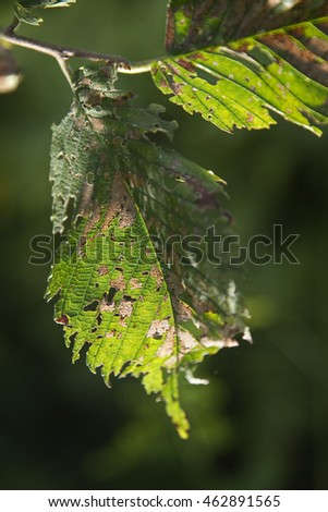 Close up of some green leaves slowly dying