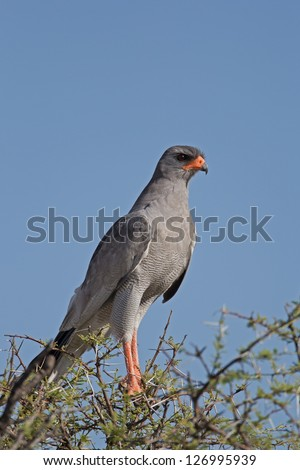 Close-up of Southern Pale Chanting Goshawk perched on top of thorn tree; Melierax canorus