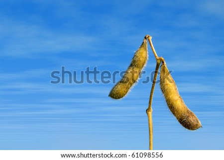 Close up of soy beans with very blue sky and clouds - stock photo