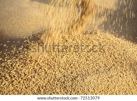 Close up of soybean harvesting with blur motion - stock photo