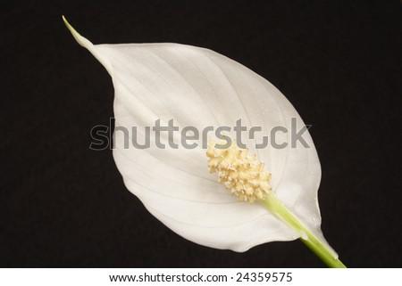 Close up of Spathiphylum wallisii flower on black background - stock photo