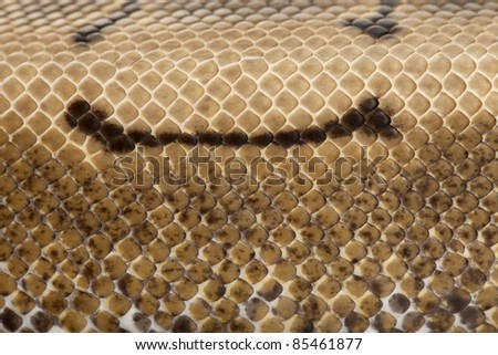Close-up of Spinner Python, Royal python skin, ball python, Python regius, 2 years old - stock photo