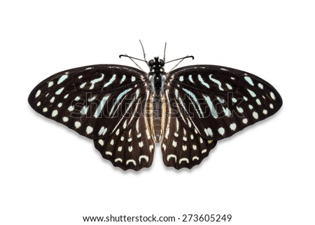 Close up of Spotted Zebra (Graphium megarus) butterfly, dorsal view, isolated on white background with clipping path - stock photo