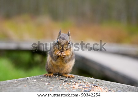 Close Up of Squirrel eating seeds shot with selective focus - stock photo