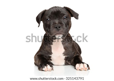 Close-up of Staffordshire bull terrier puppy on white background