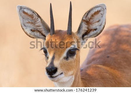 Close-up of steenbok ram head with beautiful horns detail standing in the shade - stock photo