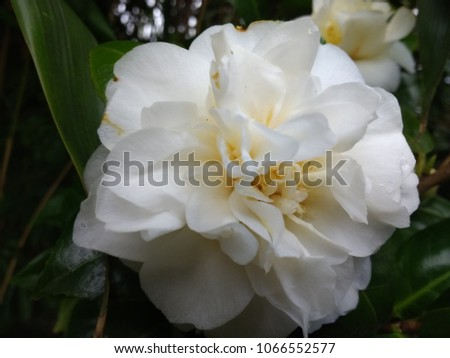 Close stunning beautiful camellia flowers full stock photo edit now close up of stunning beautiful camellia flowers in full bloom with large layered white petals and mightylinksfo